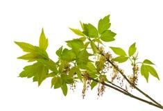 Zweig des blühenden Asche-leaved Ahornholzes Stockfoto