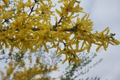 Zweig des blühenden Baums stockfotos