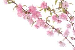 Zweig des blühenden Strauchs Stockfotos