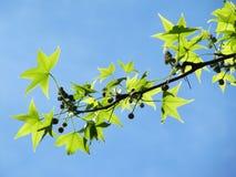 Zweig des flachen Baums mit jungen grünen Blättern. Lizenzfreie Stockfotos