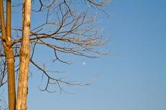 Zweig des getrockneten toten Baums und des Mondes Stockbild
