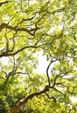 Zweig des großen Baums Stockbild