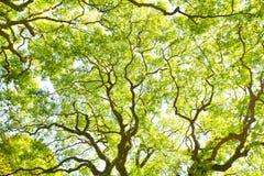 Zweig des großen Baums Lizenzfreie Stockfotografie