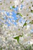 Zweig des großen weißen Baums Stockfoto