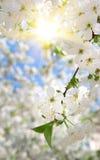 Zweig des großen weißen Baums Stockfotografie