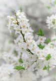 Zweig des großen weißen Baums Stockbilder