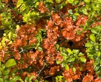 Zweig des guince Baums Stockfoto