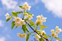 Zweig des Jasmins auf dem Himmelhintergrund. Stockbilder