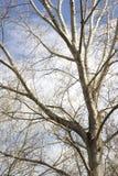 Zweig des kahlen Baums Lizenzfreies Stockbild