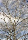 Zweig des kahlen Baums Lizenzfreie Stockfotografie