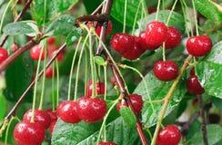 Zweig des Kirschbaums mit roten Kirschen lizenzfreies stockbild