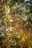 Zweig des Olivenbaums Lizenzfreie Stockfotos