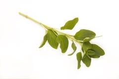 Zweig des Oreganos lokalisiert gegen Weiß Stockfotografie
