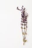 Zweig des Salbeis getrocknet auf weißem Hintergrund Lizenzfreie Stockbilder