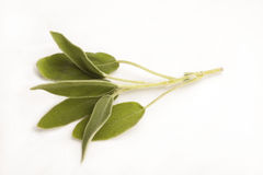 Zweig des Salbeis lokalisiert gegen Weiß Lizenzfreie Stockfotos