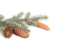 Zweig des Tannenbaums und -kegel. Stockbild