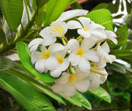 Zweig des tropischen Blumen Frangipani Lizenzfreies Stockbild