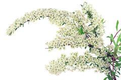 Zweig des weißen Spiraea lizenzfreie stockbilder