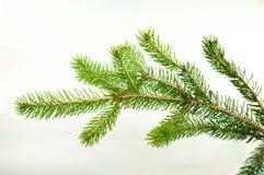 Zweig des Weihnachtsbaums Stockfotos
