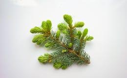 Zweig des Weihnachtsbaums auf weißem Hintergrund Lizenzfreie Stockbilder