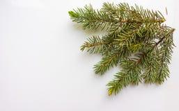 Zweig des Weihnachtsbaums auf weißem Hintergrund Stockfotografie