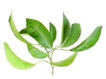 Zweig des Zitrusfruchtbaums mit grünem Blatt Stockbild