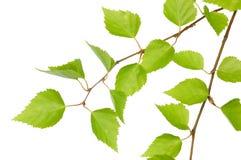 Zweig einer Birke Stockbilder
