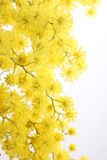 Zweig einer Mimose Stockfoto