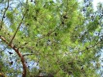Zweig einer Zeder gegen einen Himmel. Die Türkei, Antalya Stockfotografie