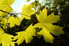 Zweig eines Ahornholzes mit Herbstblättern Stockfotografie