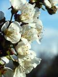 Zweig eines blühenden Obstbaumes Lizenzfreie Stockbilder