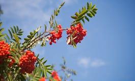 Zweig eines Ebereschebaums mit hellen roten Beeren Lizenzfreies Stockbild