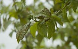 Zweig eines Hartriegels nach Regen lizenzfreie stockbilder