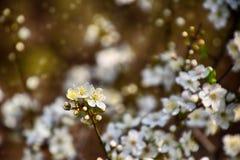 Zweig eines Obstbaumes geduscht mit kleinen empfindlichen weißen Blumen Stockfoto