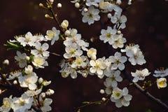 Zweig eines Obstbaumes geduscht mit kleinen empfindlichen weißen Blumen Stockfotos
