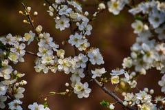 Zweig eines Obstbaumes geduscht mit kleinen empfindlichen weißen Blumen Lizenzfreie Stockfotografie