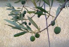 Zweig eines Olivebaums mit grünen Früchten Stockfotografie
