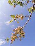 Zweig eines Pistaziebaums lizenzfreie stockbilder