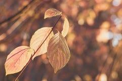 Zweig mit blassen orange Blättern Stockfotografie
