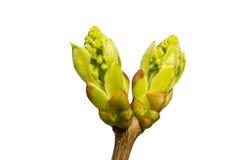 Zweig mit den Blättern lokalisiert auf Weiß Lizenzfreies Stockfoto