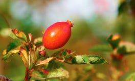 Zweig mit einer roten Hagebutte Lizenzfreies Stockbild