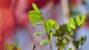 Zweig mit grünen Blättern stock video