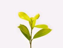 Zweig mit grünen Blättern Lizenzfreie Stockfotografie