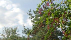 Zweig mit reifen roten Beeren des Weißdorns im Wald im Herbst stock video