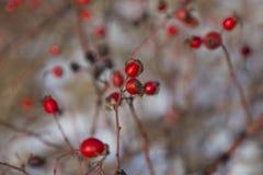 Zweig mit Rot trägt Hagebutten Früchte Stockbilder