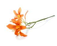 Zweig mit zwei Blumen der Lilien Stockfotografie