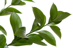 Zweig recht des Grüns verlässt auf weißem Hintergrund. Lizenzfreie Stockfotos