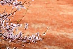 Zweig Sakura Stockfotos