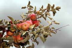 Zweig voll der reifen Äpfel und des grauen Himmels Stockbild