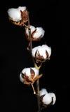 Zweig von Baumwolle Lizenzfreies Stockfoto
